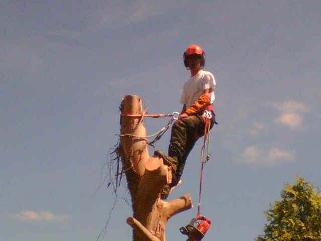 A tree surgeon at work